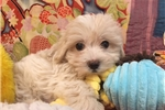 Picture of Really Cute Male Maltipoo Puppy!