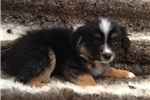 Picture of Handsome and Smart Mini Aussie Puppy!