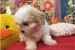 Picture of Super Adorable Teddy Bear Female Puppy!