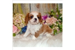Picture of Playful and Sweet Cavatoy Puppy!