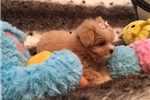 Picture of Gorgeous and Cute Peekapoo Female Pup!