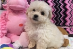 Picture of Beautiful Peekapo Female Puppy!