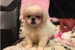 Picture of Gorgeous Cream Pekingese Puppy!