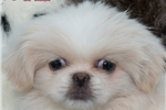 Picture of Tiny little Peke girlie