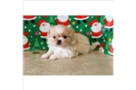Picture of Gorgeous Female Pekingese Puppy!