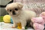 Picture of AKC Super Cute and Sweet Pekingese Puppy!