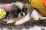 Picture of ABSOLUTELY STUNNING PEKINGESE PUPPY!