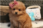 Picture of GORGEOUS POMAPOO PUPPY!