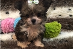 Picture of So tiny and spunky Pomchi Puppy!