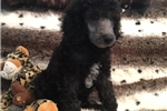 Picture of Handsome and Elegant Standard Poodle AKC