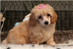 Picture of Beautiful little toy poodle