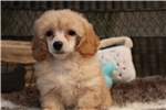 Picture of Handsome, cream Toy Poodle male