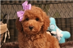 Picture of Super Sweet, Intelligent Apricot Poodle!