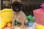 Picture of Spunky Pug Female Puppy!
