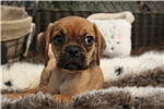 Picture of SO CUTE AND LITTLE PUGGLE FEMALE PUPPY!