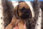 Picture of Stocky and Cute Puggle Female Puppy!