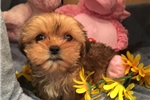 Picture of Gorgeous Female Shorkie