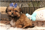 Picture of SHORKIE MALE THAT WILL MELT YOUR HEART