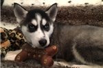 Picture of Gorgeous Male Siberian Husky Puppy!