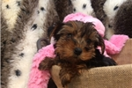 Picture of Sweet and Tiny Yorkie Female Puppy!