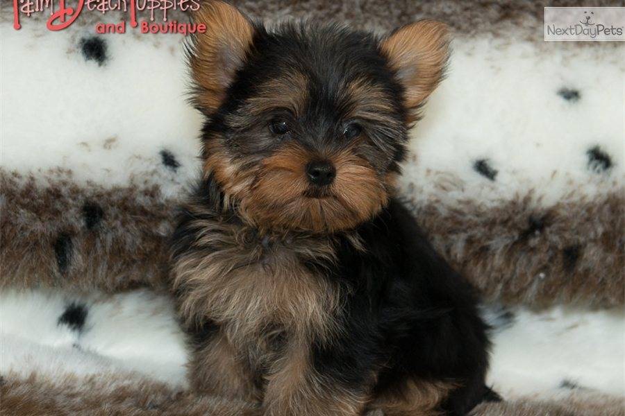 West Palm Beach Yorkie Puppies Sale