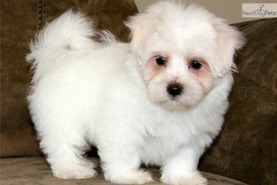 Video Meet Chaplin A Cute Maltese Puppy For Sale For 675