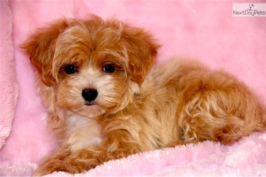 Malti Poo Maltipoo Puppy Picture 724f2de4 32d5 4b18 8131 11bb65dda33a ...