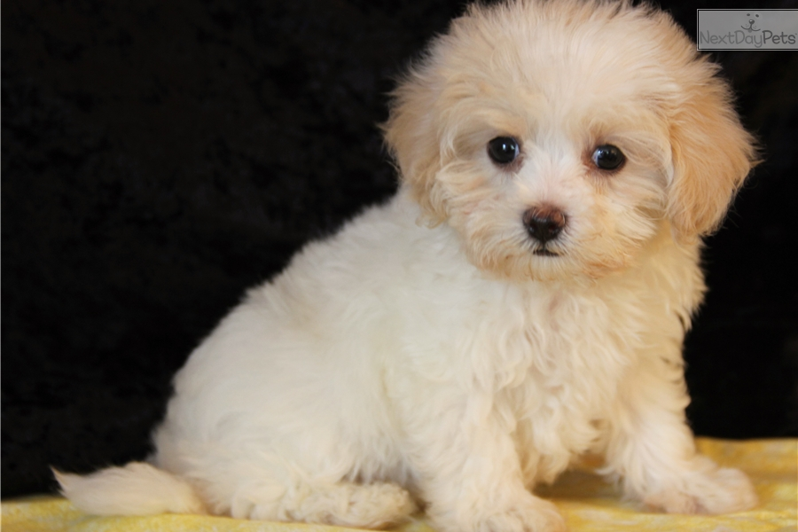 The gallery for --> Baby Maltipoo