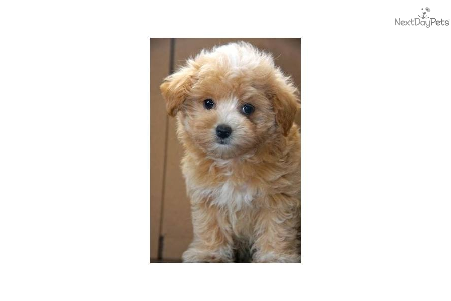Shihpoo puppies for sale in coldwater michigan classified
