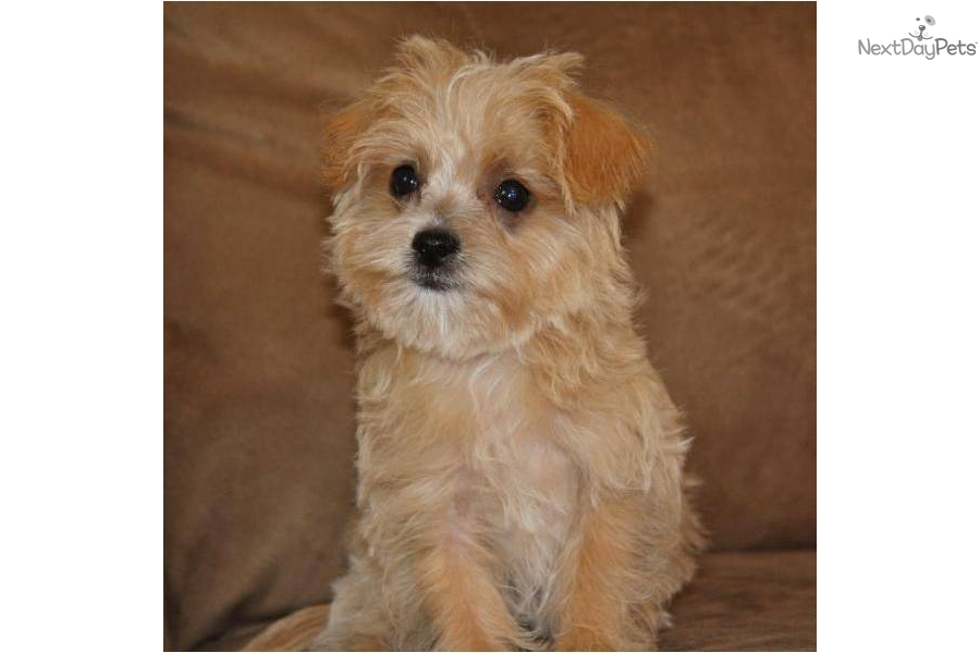 tiny-registered-f1-apricot-maltipoodog-malti-poo-maltipoo-puppy