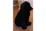Picture of MAX - F1B SHEEPADOODLE - Male