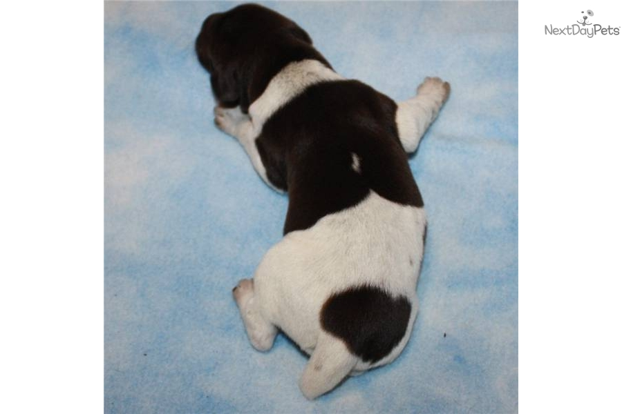Meet jim 2 a cute german shorthaired pointer puppy for sale for 550
