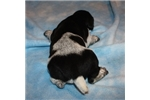 Picture of AKC FULL REG BLACK AND WHITE MALE PUP -VERY SHARP!
