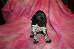 Picture of AKC FULL REG FEMALE -LOTS OF TICKING -BLACK &WHITE