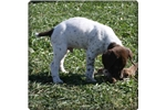Picture of a German Shorthaired Pointer Puppy