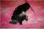 Picture of AKC FULL REG FEMALE -BEAUTIFUL DARK BLACK ROAN!