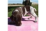 Picture of AKC REG LIVER Roan FEMALE- POINTERS OF THE VALLEY