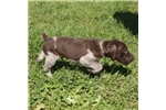 Picture of AKC REG LIVER Roan MALE- POINTERS OF THE VALLEY