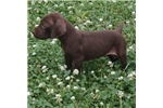 Picture of AKC LIVER MALE FROM POINTERS OF THE VALLEY