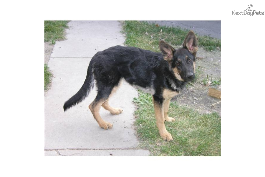 Champ Dogs German Shepherd Puppies For Sale