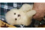 Picture of SNOWBALL TOY AMERICAN ESKIMO
