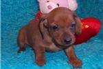 Picture of  Little Copper.... Perfect Valentine's Present!
