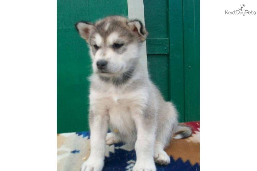 alaskan malamute puppies for sale in michigan