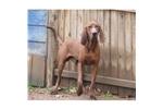 Picture of a Redbone Coonhound Puppy