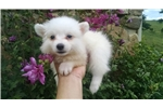 Eskimo Dog for sale