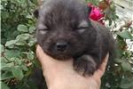 Eskimo Dog for sale