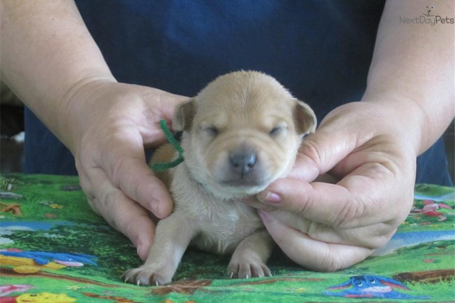 Meet ch boys a cute Mountain Feist puppy for sale for $400. REGISTERED ...