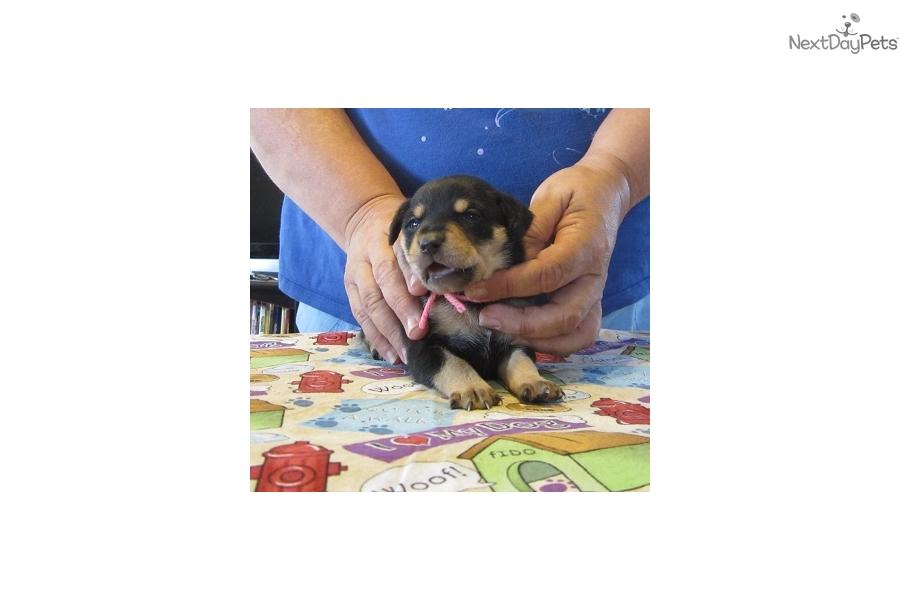Mountain Feist puppy for sale near Western KY, Kentucky | 57d15de2 ...