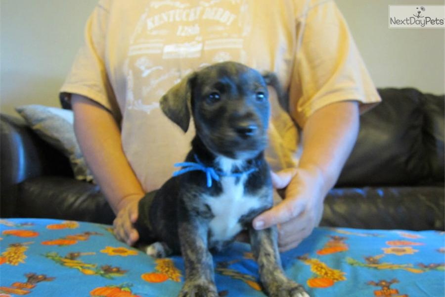 Mountain Feist puppy for sale near Western KY, Kentucky | f5af1470 ...