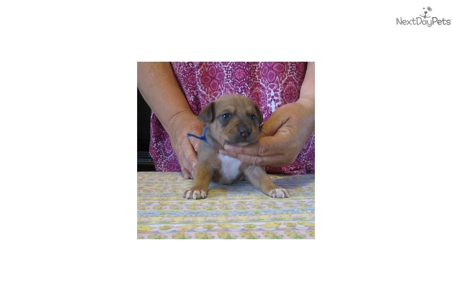 Mountain Feist puppy for sale near Western KY, Kentucky   aec78335 ...